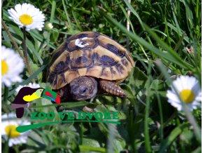 Želva zelenavá (Testudo hermanni) - čipovaná  Čipovaná