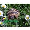 Želva zelenavá (Testudo hermanni) - čipovaná